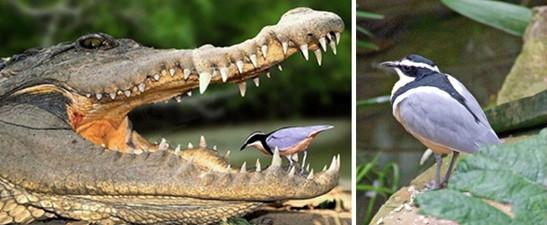 el pájaro dentista
