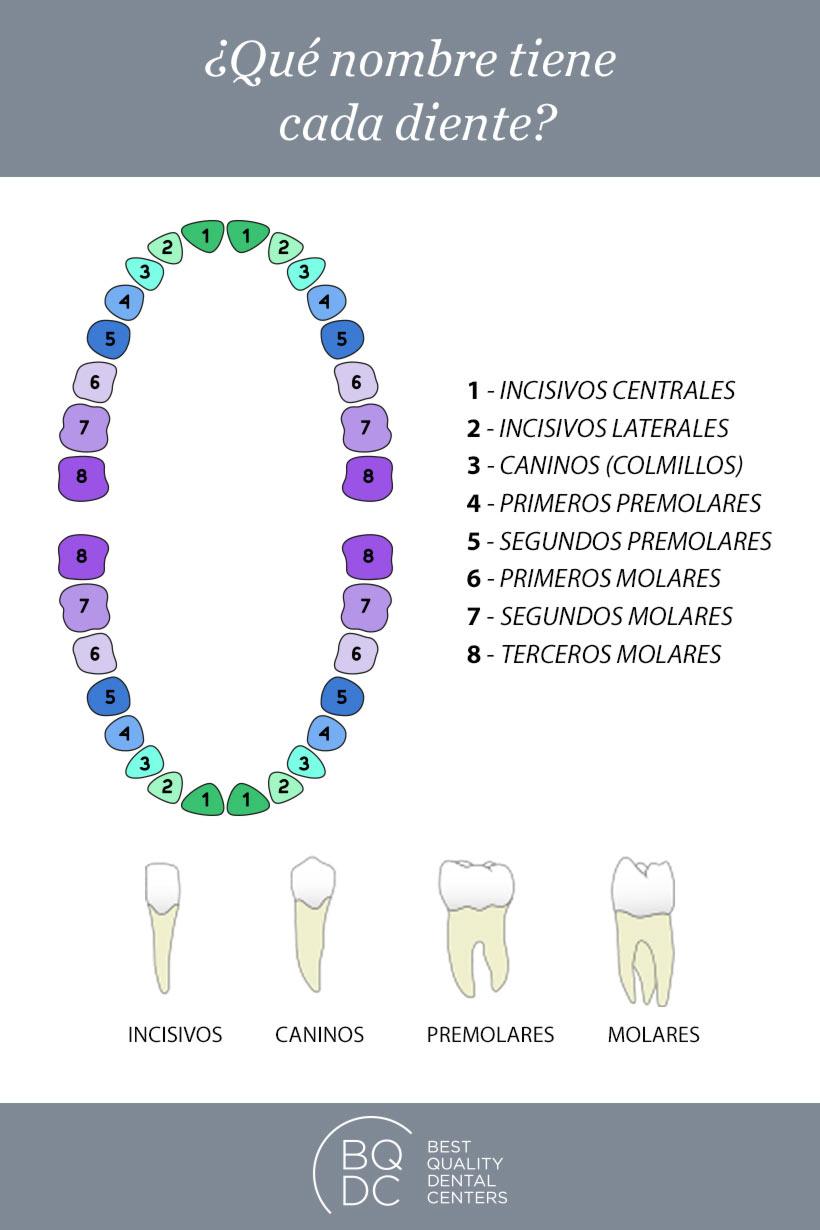Infografía: ¿Qué nombre tiene cada diente?
