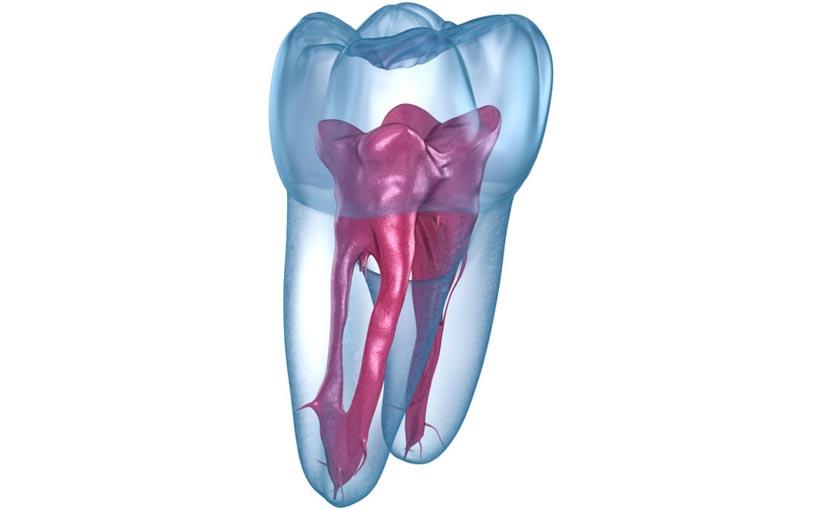 Raíz dentaria, representación gráfica